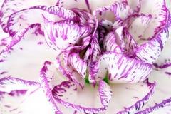 与紫色的白色康乃馨 免版税库存图片