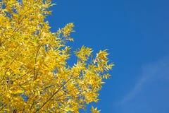 与黄色的秋天树离开反对蓝天 库存图片