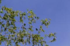 与绿色的竹灌木在蓝天离开 在天空的竹叶子 免版税图库摄影
