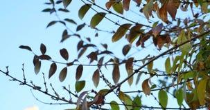 与绿色的美丽的产树胶之树离开反对蓝天背景行动 股票视频
