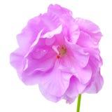与绿色的美丽的开花的淡紫色大竺葵花离开is is 库存照片