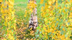 与黄色的美丽的桦树在秋天,俄罗斯离开 股票视频
