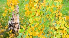 与黄色的美丽的桦树在秋天,俄罗斯离开 影视素材