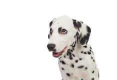 与黑色的美丽的达尔马提亚狗被察觉的 免版税库存照片