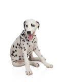 与黑色的美丽的达尔马提亚狗被察觉的 库存图片