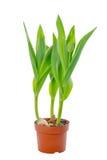 与绿色的美丽的年轻幼木郁金香在花盆离开 库存照片
