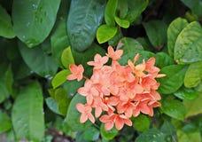 与绿色的老玫瑰色颜色或桔子Ixora花离开(茜草科) 库存图片