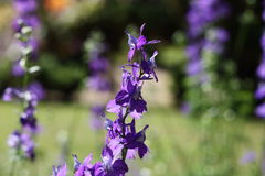 与紫色的花在早晨庭院里 免版税库存照片