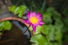 与绿色的紫色莲花离开背景 免版税库存图片