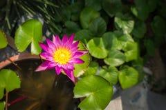 与绿色的紫色莲花离开背景 库存照片