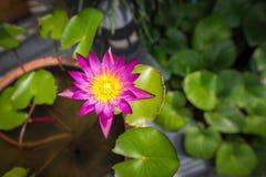 与绿色的紫色莲花离开背景 免版税库存照片