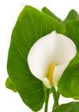 与绿色叶子的水芋百合 库存照片
