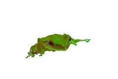 与绿色皮肤和红色的青蛙在白色背景注视 图库摄影