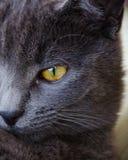 与黄色眼睛的俄国蓝色猫 图库摄影