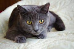 与黄色眼睛的俄国蓝色猫 免版税库存照片