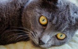 与黄色眼睛的俄国蓝色猫 免版税库存图片