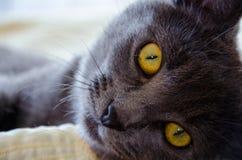 与黄色眼睛的俄国蓝色猫 库存图片