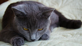 与黄色眼睛的哀伤的俄国蓝色猫 免版税库存图片