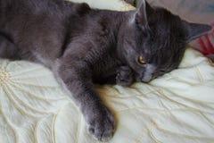 与黄色眼睛的哀伤的俄国蓝色猫 库存图片