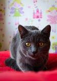 与黄色眼睛的好奇俄国蓝色猫 库存照片