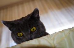 与黄色眼睛的好奇俄国蓝色猫 免版税库存照片