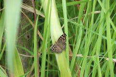 与黄色眼睛的布朗蝴蝶 库存照片