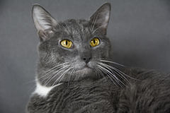 与黄色眼睛的灰色猫在灰色背景 库存照片
