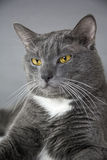 与黄色眼睛的灰色猫在灰色背景 免版税库存图片