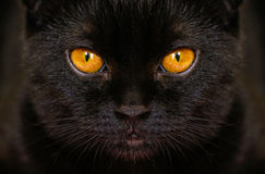 与黄色眼睛的特写镜头严肃的恶意嘘声在黑暗 面孔黑色 免版税图库摄影