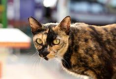 与黄色眼睛的猫在墙壁上 免版税库存图片
