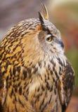 与黄色眼睛的猫头鹰和温暖的背景在西班牙 免版税库存图片