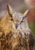 与黄色眼睛的猫头鹰和温暖的背景在西班牙 库存图片