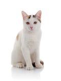 与黄色眼睛的白色家猫 库存图片