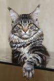 与黄色眼睛的黑平纹缅因树狸猫和大天猫座 库存图片