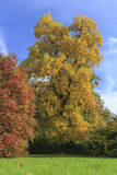 与黄色秋天叶子的树 免版税库存照片