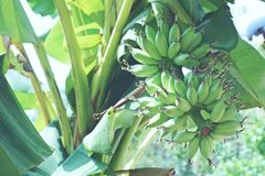 与绿色种植未加工的香蕉的束的香蕉树 免版税图库摄影