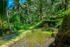与绿色米大阳台的美好的风景在Tegallalang村庄, Ubud,巴厘岛,印度尼西亚附近 免版税图库摄影