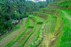 与绿色米大阳台的美好的风景在Tegallalang村庄, Ubud,巴厘岛,印度尼西亚附近 免版税库存图片