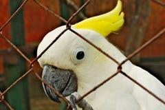 与黄色羽毛的白色美冠鹦鹉鹦鹉在铁丝网后 库存图片