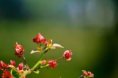 与绿色背景,俏丽的背景的桃红色颜色九重葛 库存照片