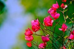 与绿色背景,俏丽的背景的桃红色颜色九重葛 库存图片