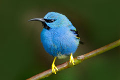 与黄色腿,尼加拉瓜的美丽的蓝色异乎寻常的热带蓝色鸟 发光的Honeycreeper, Cyanerpes lucidus,异乎寻常的热带蓝色棕褐色 免版税库存图片