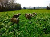 与绿色自然的动物在农田里 免版税库存照片