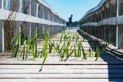 与绿色芦苇的一座栈桥 图库摄影