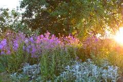 与紫色花和太阳设置的庭院场面 免版税图库摄影
