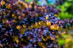 与黄色花的多刺的棕色灌木 库存照片
