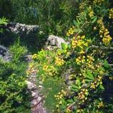 与黄色花的开花的树 免版税库存照片