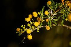 与黄色花的棘手的金合欢南部非洲的干旱台地高原 库存照片