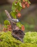 与紫色花的沼泽山雀 库存图片