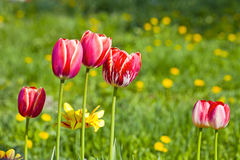 与黄色花的红色郁金香 免版税库存照片